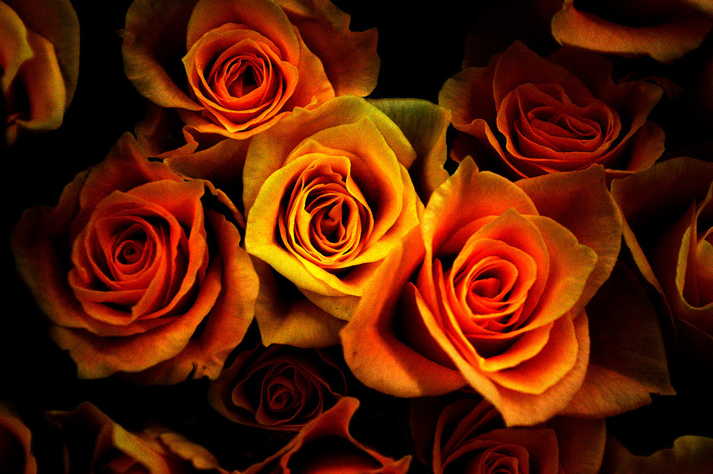 orange-rose-bush-with-single-yellow-rose-beauty-in-being-yourself
